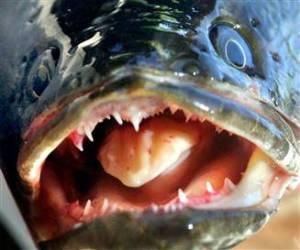 snakeheadfish